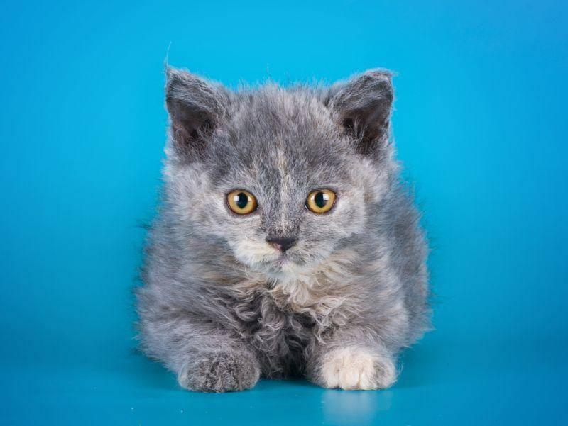 Die Letzte in unserer Runde: Ist die Selkirk Rex nicht eine bildhübsche Katze? – Bild: Shutterstock / kuban_girl