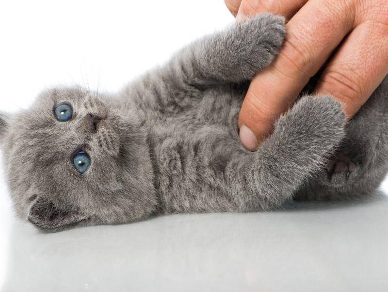 """He, nicht kitzeln!"" BKH-Baby beim Spielen – Bild: Shutterstock / Dora Zett"