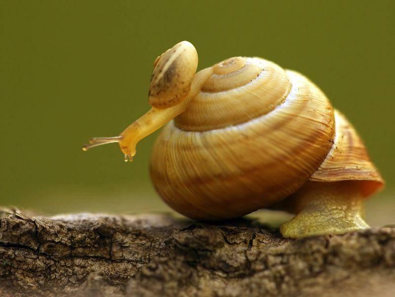 Zwei Weinbergschnecken: Jungtier vs. erwachsenes Tier – Bild: Shutterstock / Czesznak Zsolt