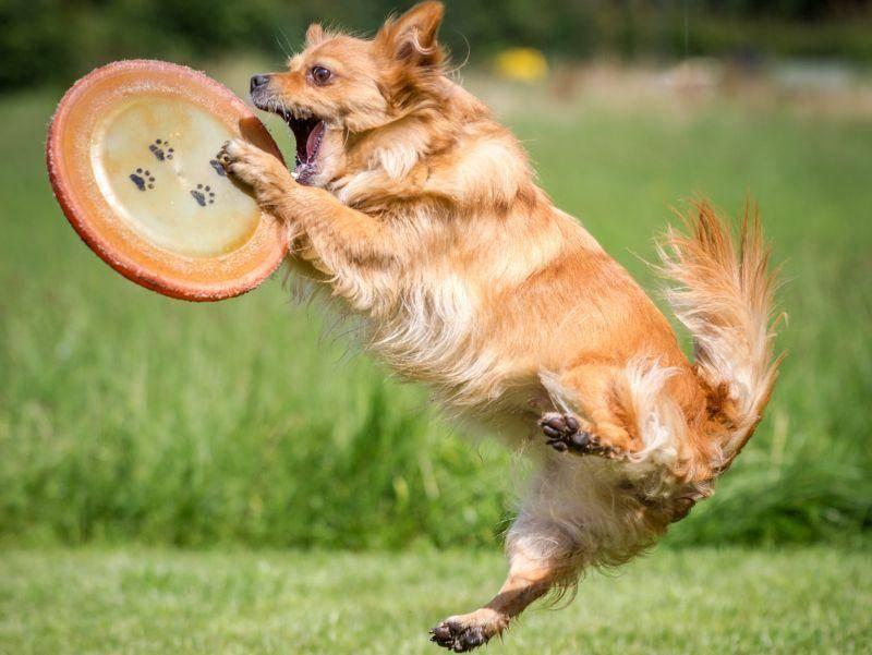 Kleiner Hund springt hoch hinaus: Ein tolles Spiel! – Bild: Shutterstock / Bildagentur Zoonar GmbH