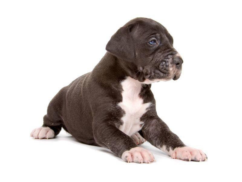 Klein aber fein: Die letzte Deutsche Dogge in unserer Bildergalerie – Bild: Shutterstock / Erik Lam