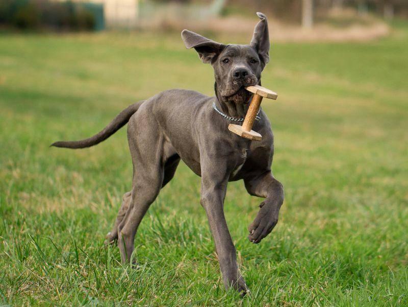 Deutsche Dogge unterwegs: Spielen? Na klar!!! – Bild: Shutterstock / MF Photo