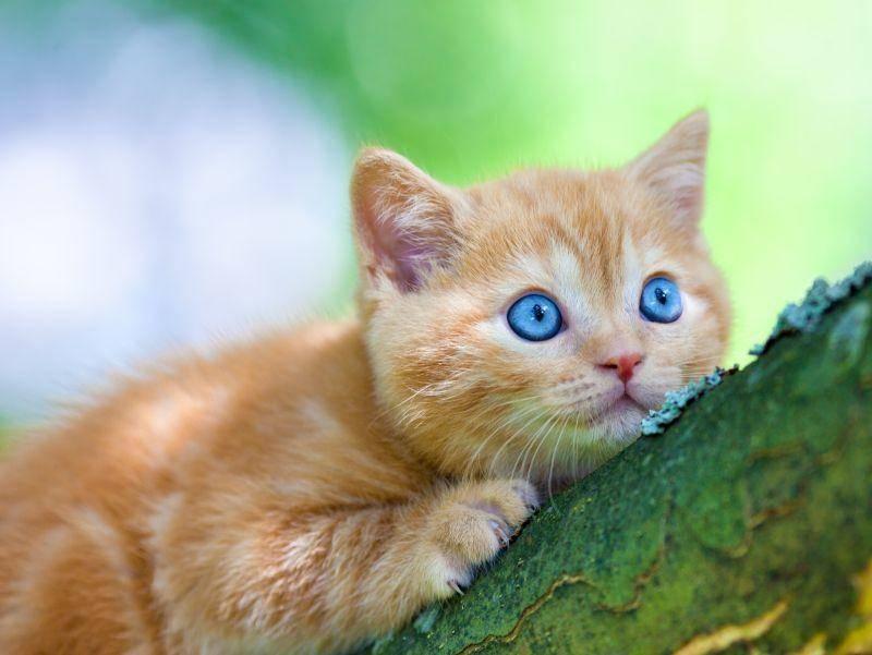 Rote Britisch Kurzhaar: Auf den Baum klettern, das macht Spaß! – Bild: Shutterstock / vvvita