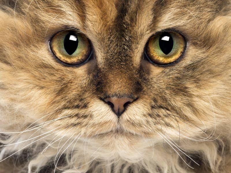 Der Kopf der freundlichen Katze ist rundlich, die Augen sind groß – Bild: Shutterstock / Eric Isselee