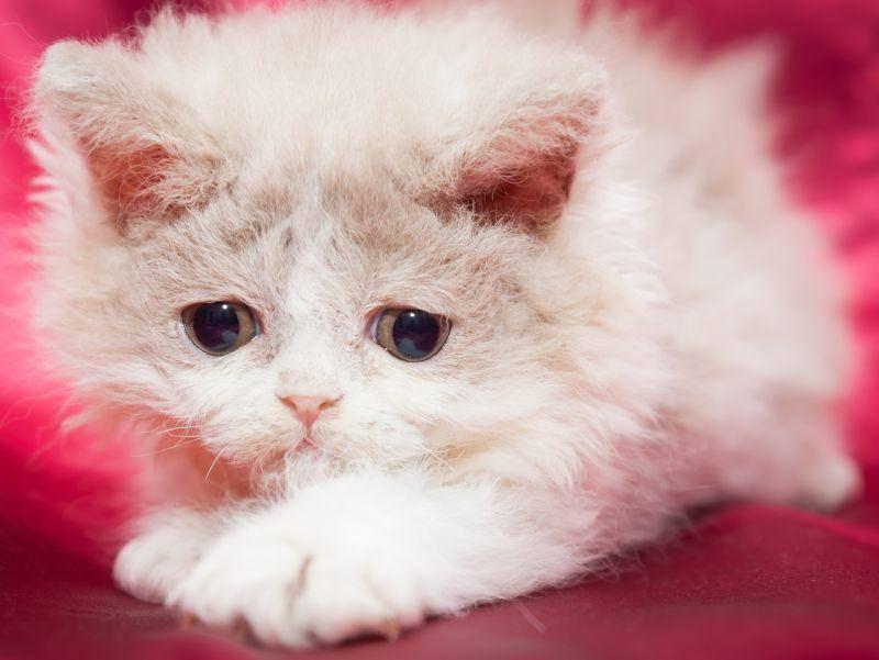 Bisher gibt es sehr wenig Züchter dieser besonderen Katzenrasse – Bild: Shutterstock / Immagy