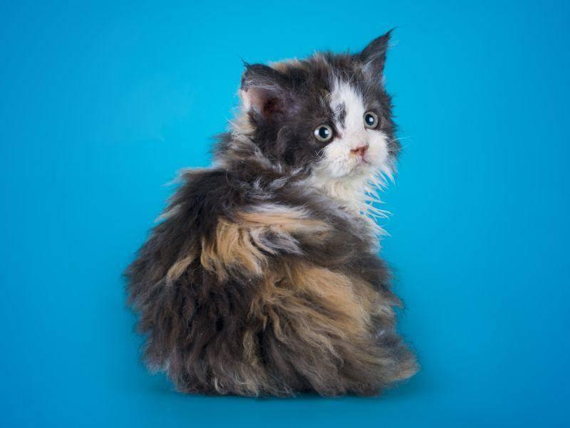 Um den Genpool der seltenen Katzen zu erweitern, werden andere Katzenrassen eingekreuzt – Bild: Shutterstock / kuban_girl