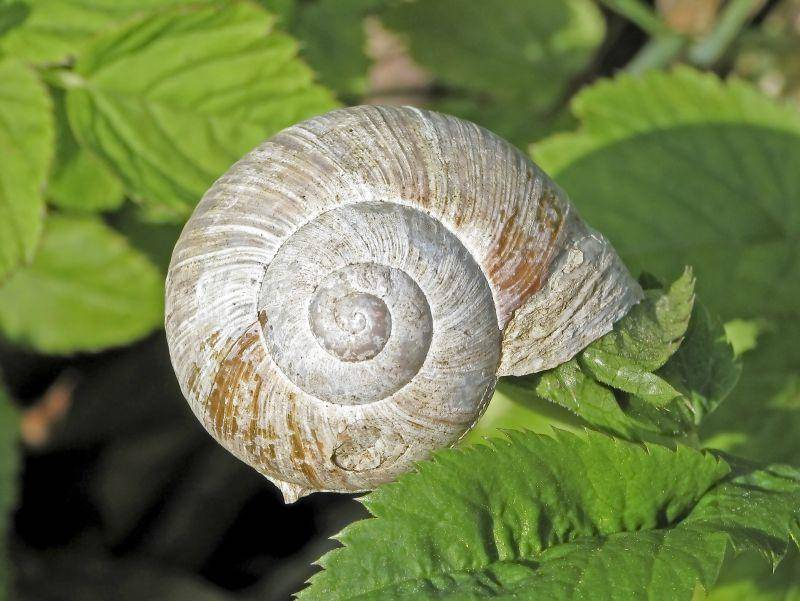 Das Gehäuse erreicht bei ausgewachsenen Schnecken einen Durchmesser von 3 – 5 cm – Bild: Shutterstock / Shutterschock
