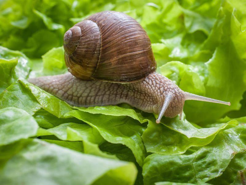 Mit bis zu 30 Gramm ist sie deutlich schwerer als die normale Schnecke – Bild: Shutterstock / Alexander Raths