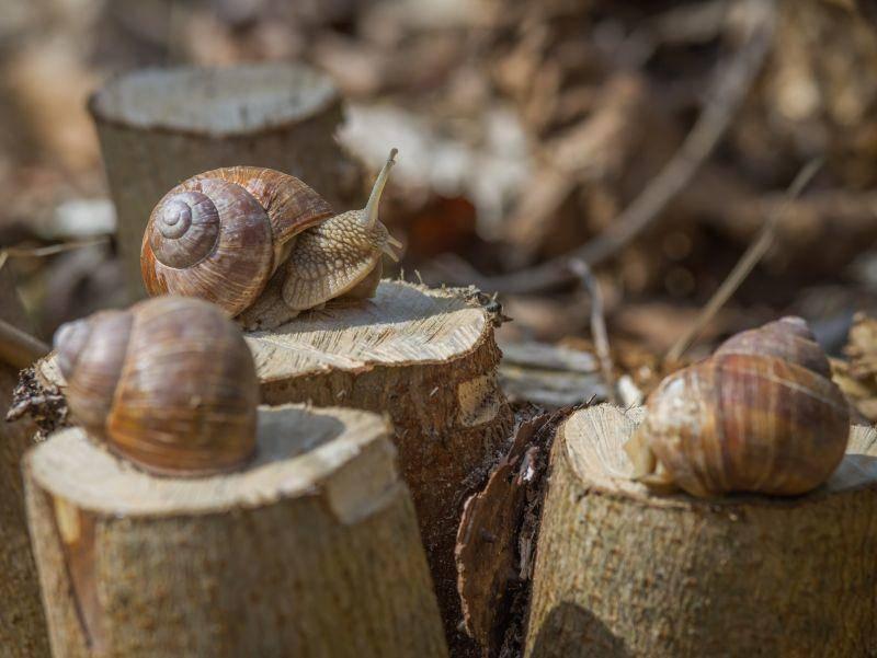 Eine kleine Weinbergschneckenversammlung ist – Bild: Shutterstock / Romija