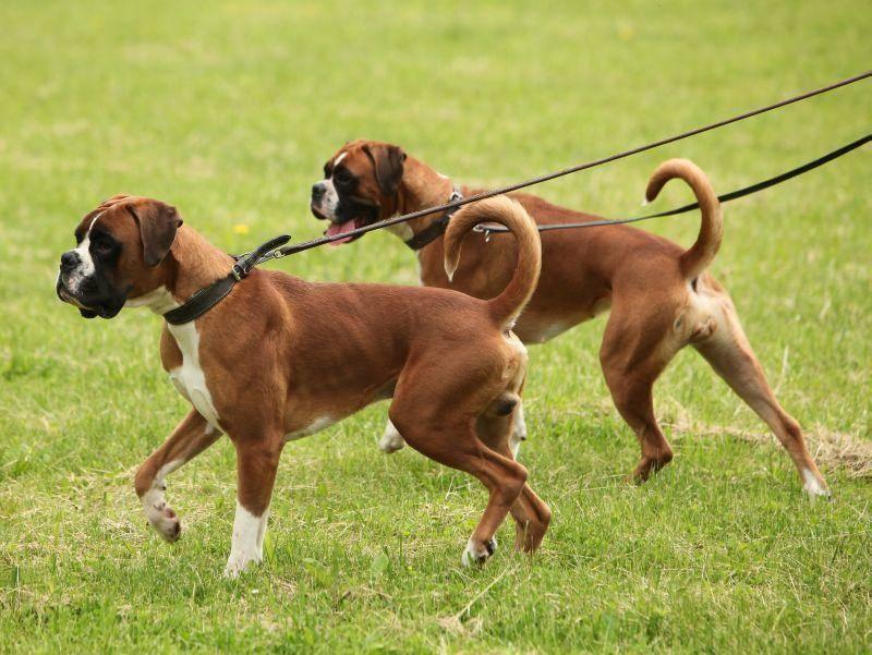 Zwillinge oder beste Freunde: Bei diesen Boxern ist das schwer zu sagen – Bild: Shutterstock / Malyshev Oleg