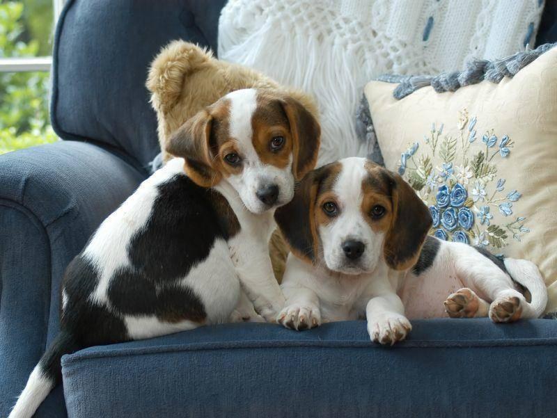 Auch diese Beagle-Geschwister sehen sich zum Verwechseln ähnlich – Bild: Shutterstock / George Hoffman