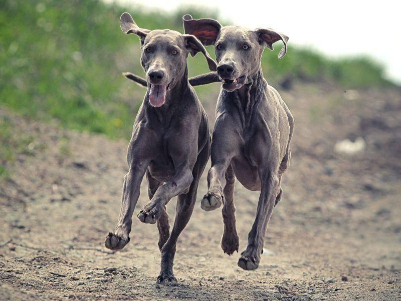 Gleich aussehen und gleich schnell rennen: Das ist bei diesen Weimaranern Programm – Bild: Shutterstock / DragoNika