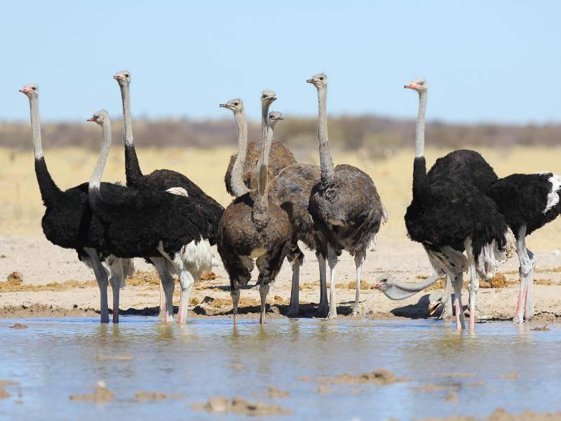 Afrikanische Strauße leben in kleinen Verbänden – Bild: Shutterstock / Hannes Thirion