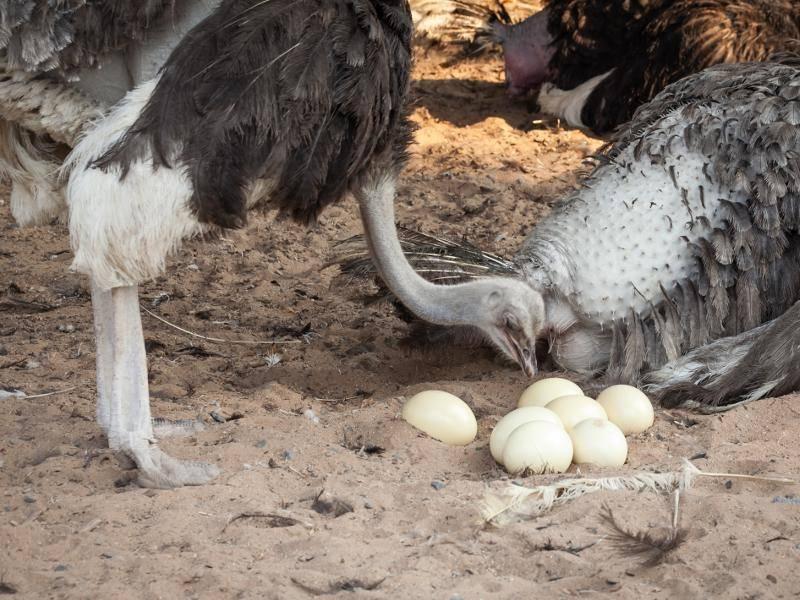 """Rund 80 Eier können in den sogenannten """"Gemeinschaftsnestern"""" der Strauße liegen – Bild: Shutterstock / Donjiy"""