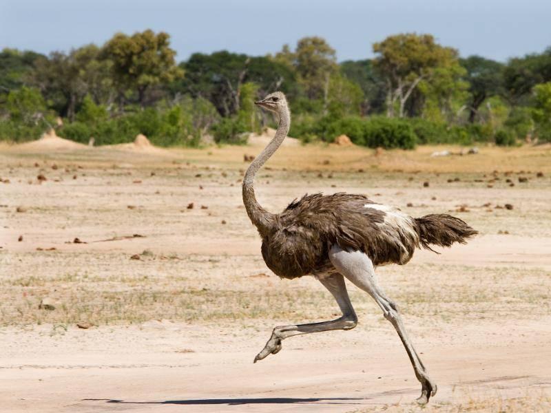 Flink unterwegs: Mit ihren langen Beinen können sie bis zu 70 km/h schnell rennen! – Bild: Shutterstock / paula french