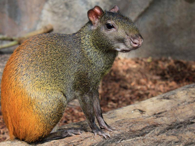 Ihr Körper ist schlank, das Fell dicht und hat einen bräunlichen oder orangefarbenen Ton – Bild: Shutterstock / Number One