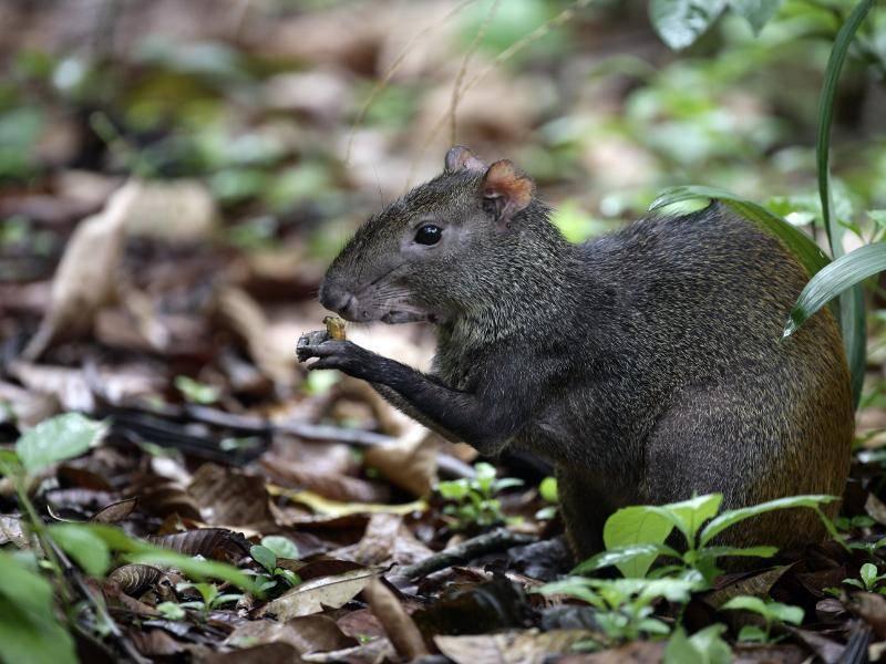 Agutis sind außerdem Pflanzenfresser und ernähren sich unter anderem von Nüssen und Blättern – Bild: Shutterstock / Erni