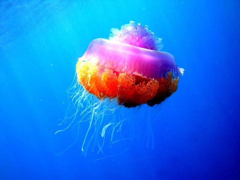 Diese Qualle konnte sich bei der Farbwahl offensichtlich nicht entscheiden – Bild: Shutterstock / Lana Rattanko