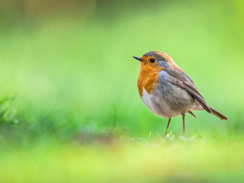 Neben Europa sind die Singvögel auch in Kleinasien und Nordafrika zu finden – Bild: Shutterstock / CreativeNature R.Zwerver