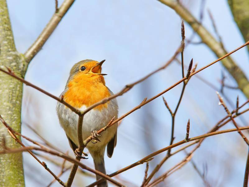 Was hast du uns denn zu erzählen, kleines Rotkehlchen? – Bild: Shutterstock / Peter Raymond Llewellyn