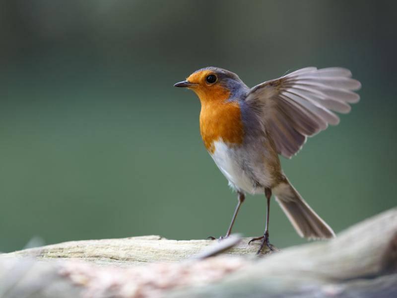 Etwa 14 Zentimeter groß wird ein ausgewachsenes Rotkehlchen... – Bild: Shutterstock / Bildagentur Zoonar GmbH