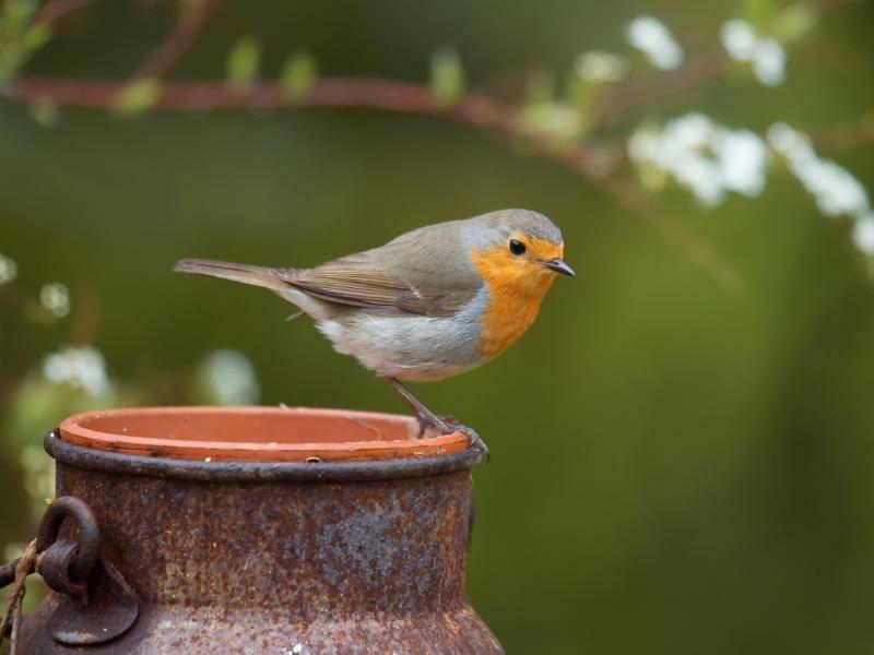 Niedliche Singvögel, diese Rotkehlchen! – Bild: Shutterstock / allanw