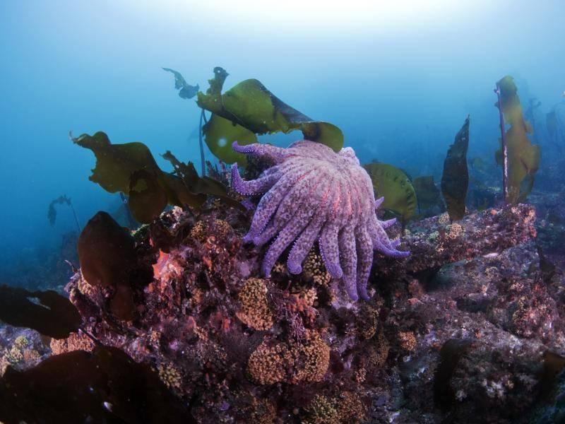 Ein lilafarbener Seestern mit vielen Armen. Beeindruckend, was die Tierwelt hervorbringt! – Bild: Shutterstock / Greg Amptman
