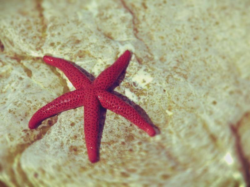 Typisch für viele Seesternarten sind ihre fünf Arme – Bild: Shutterstock / caesart