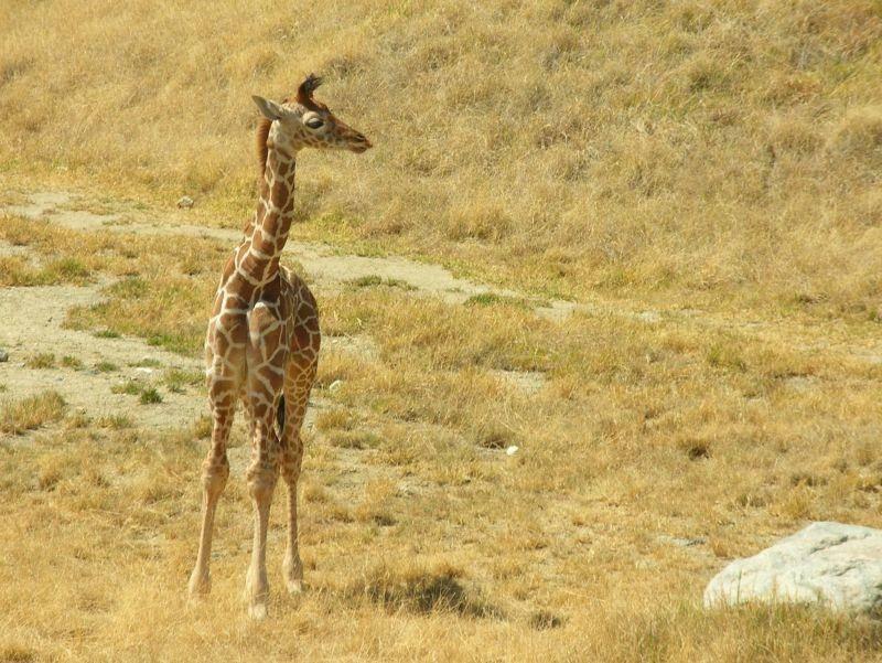 Na, wonach hältst du Ausschau, kleines Giraffenbaby? – Bild: Shutterstock / Jayne Chapman