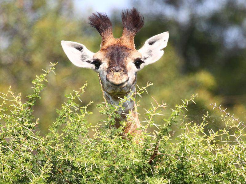 Versteckenspielen ist gar nicht so leicht als Giraffenbaby – Bild: Shutterstock / Dave Pusey
