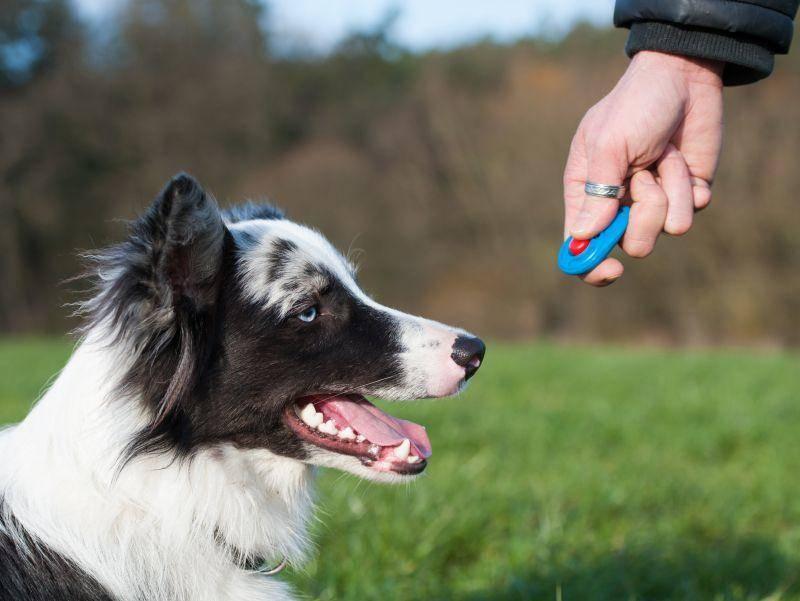 Clickertraining hingegen eignet sich für jeden Hund – Bild: Shutterstock / Dora Zett