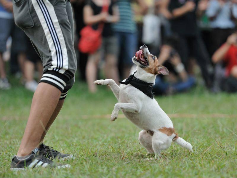 Beim Dogdancing ist das Rhythmusgefühl von Hund und Mensch gefragt – Shutterstock / CLChang