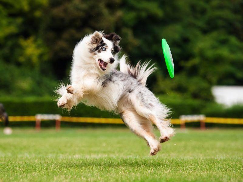 Discdogging ist eine rasante Sportart für Hunde mit hohem Bewegungsbedürfnis – Shutterstock / Ksenia Raykova