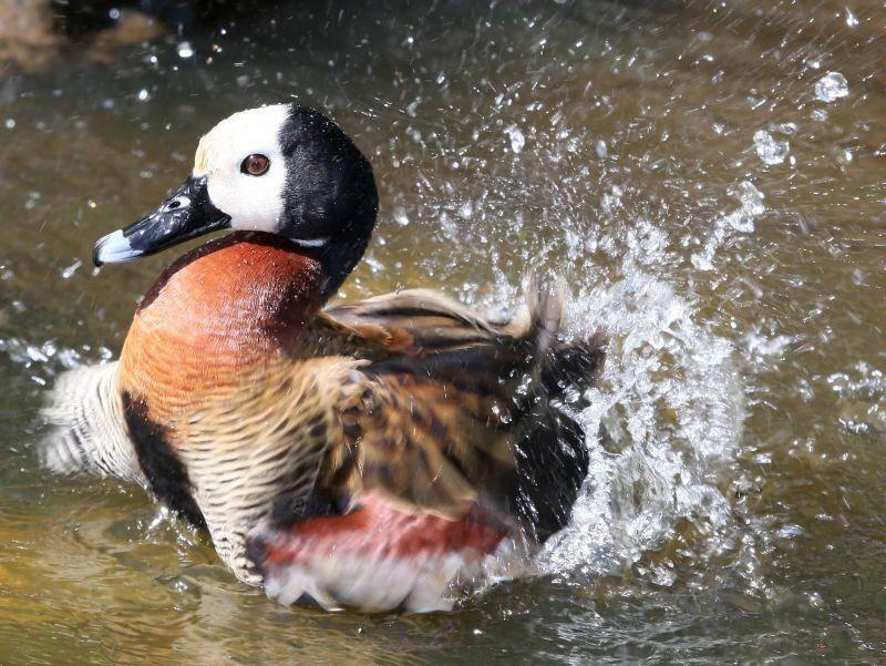 Wasser Marsch! Diese hübsche Ente genießt ihr Bad – Bild: Shutterstock / Four Oaks
