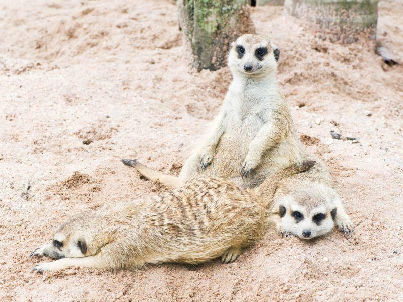 Erdmännchen sind dort, wo es warm ist zu Hause: Zum Beispiel in Savannen und Halbwüsten– Bild: Shutterstock / gopause