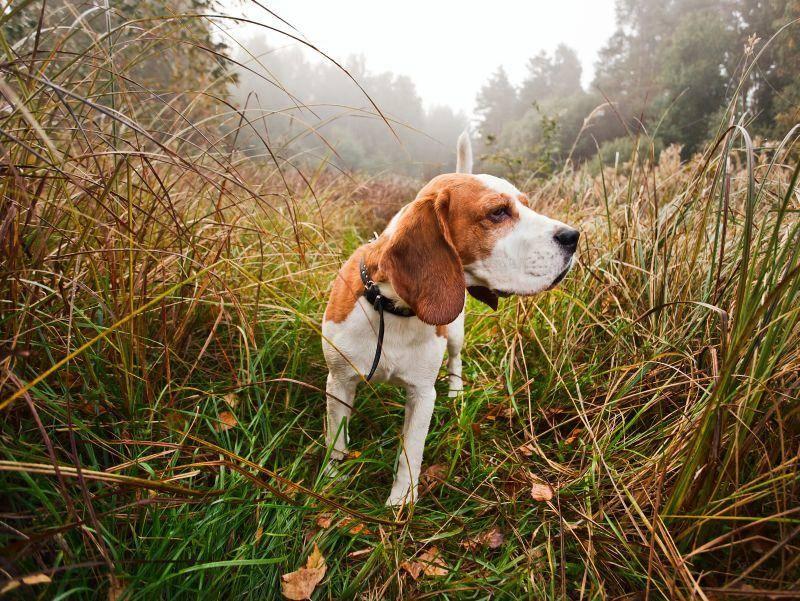 Bei der Fährtenarbeit geht's Querfeldein auf Spurensuche: Ein toller Sport für jeden Hund! – Bild: Shutterstock Igor Normann