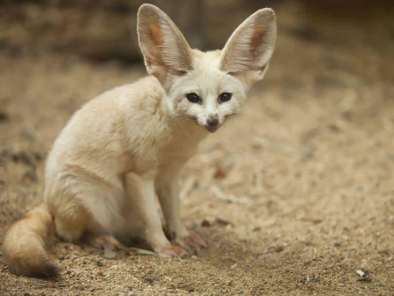 Der Fennek gibt Hitze über seine großen Ohren und die Fußsohlen ab – Bild: Shutterstock / Zhukov Oleg