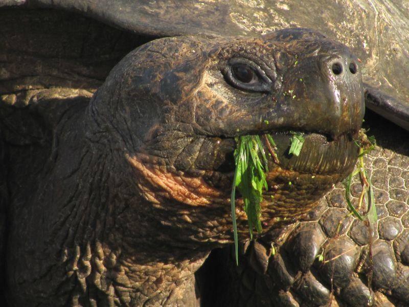 Zu den Lieblingsspeisen der Galápagos gehören Gräser, Kräuter und Kletterpflanzen – Bild: Shutterstock / Wendy Walkin