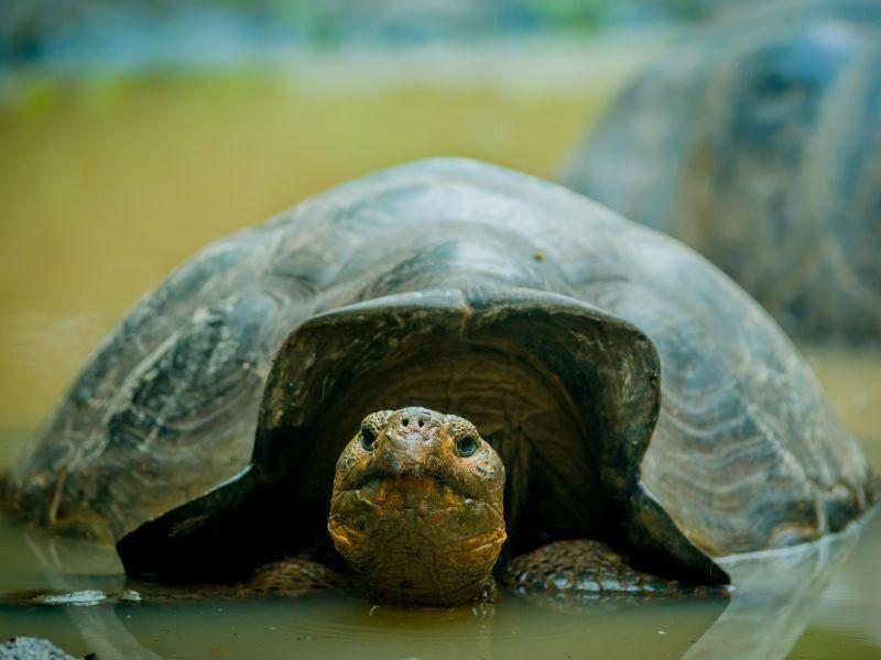 ... und so groß als erwachsene Schildkröte. Freilebend kann ihr Panzer rund 139 cm lang werden – Bild: Shutterstock / Fotos593