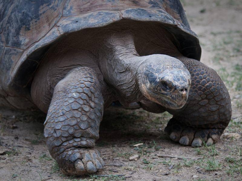 Langsam und gemütlich: So bewegt sich die Galápagos-Schildkröte fort – Bild: Shutterstock / Brandon Seidel
