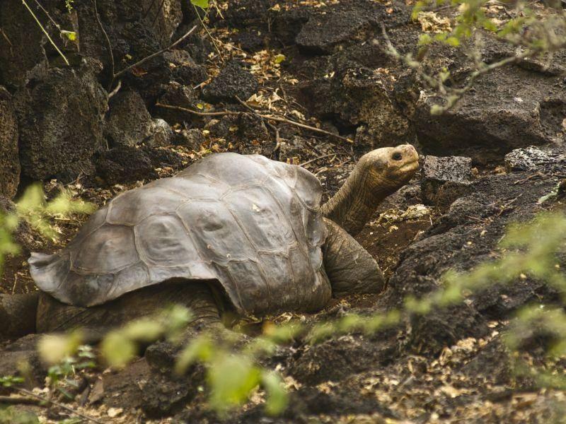 Die bekannteste Galápagos-Schildkröte ist wohl Lonesome George – Bild: Shutterstock / Jenny Leonard