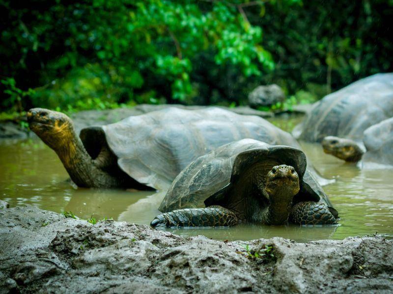 Galápagos-Schildkröten lieben es, in Tümpeln zu baden – Bild: Shutterstock / Fotos593