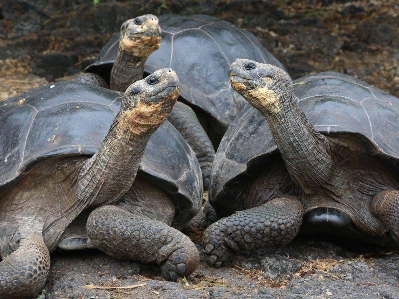 Und noch ein schönes Galápagos-Riesenschildkröten-Gruppenfoto zum Schluss: Hübsch, die drei! – Bild: Shutterstock / Ian Kennedy