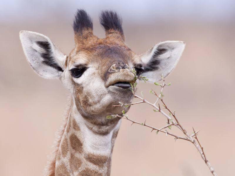 """""""Ich komme auch schon an die ganz hohen Zweige!"""" – Bild: Shutterstock / Stuart G Porter"""