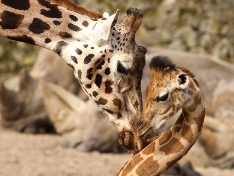 Und noch ein schönes Bild zum Schluss: Giraffenmama und ihr Baby – Bild: Shutterstock / Henk Bentlage