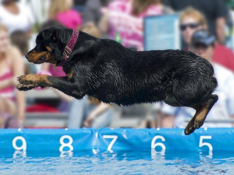 DogDiving ist eine recht neue Sportart – ihre Teilnehmer sollten auf keinen Fall wasserscheu sein – Bild: Shutterstock / Tom Feist