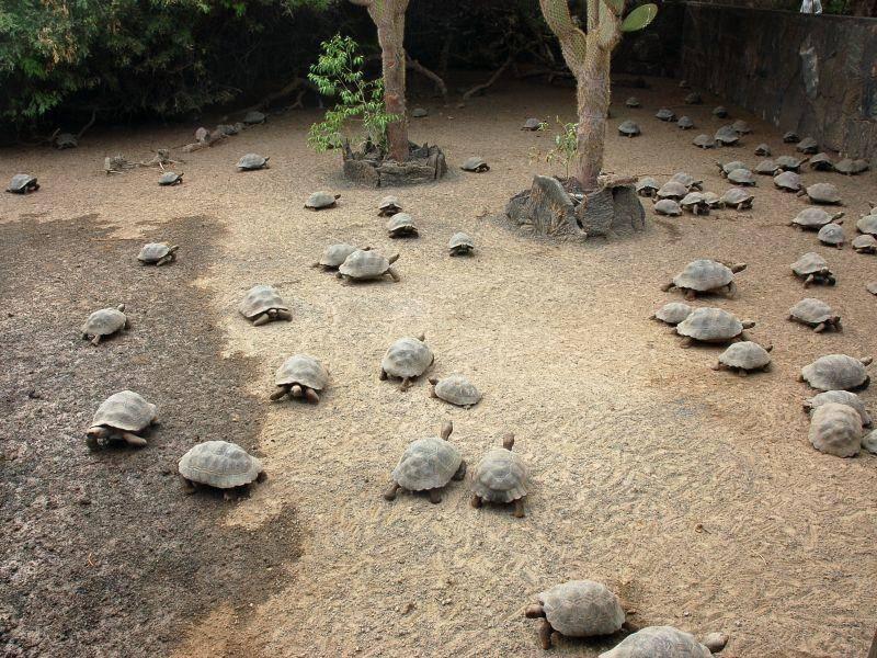 Das Artenschutzprojekt der Charles Darwin Research Station schützt Schildkröten auf den Galápagos-Inseln ein – Bild: Shutterstock / Vilainecrevette