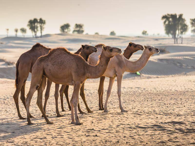 Kamele können dank verschiedenster körperlicher Voraussetzungen länger ohne Wasser auskommen – Bild: Shutterstock / Zhukov Oleg