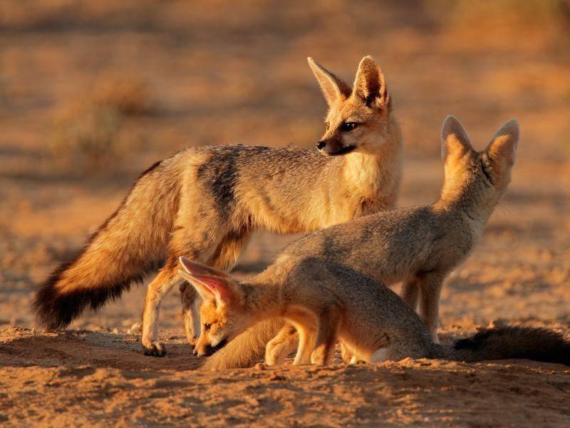 Der nachtaktive Kapfuchs ist anpassungsfähig und unter anderem in Savannen und Halbwüsten verbreitet – Bild: Shutterstock / EcoPrint