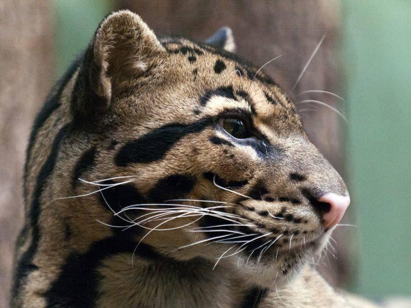 """Auf Englisch heißt der Nebelparder """"clouded leopard"""": """"Wolkiger Leopard"""" – Bild: Shutterstock / Nazzu"""